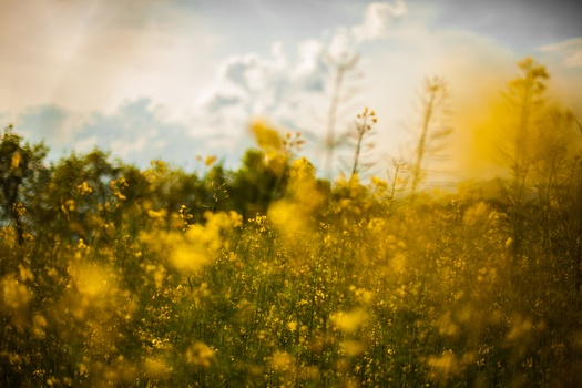 nature-field-flowers-yellow-medium